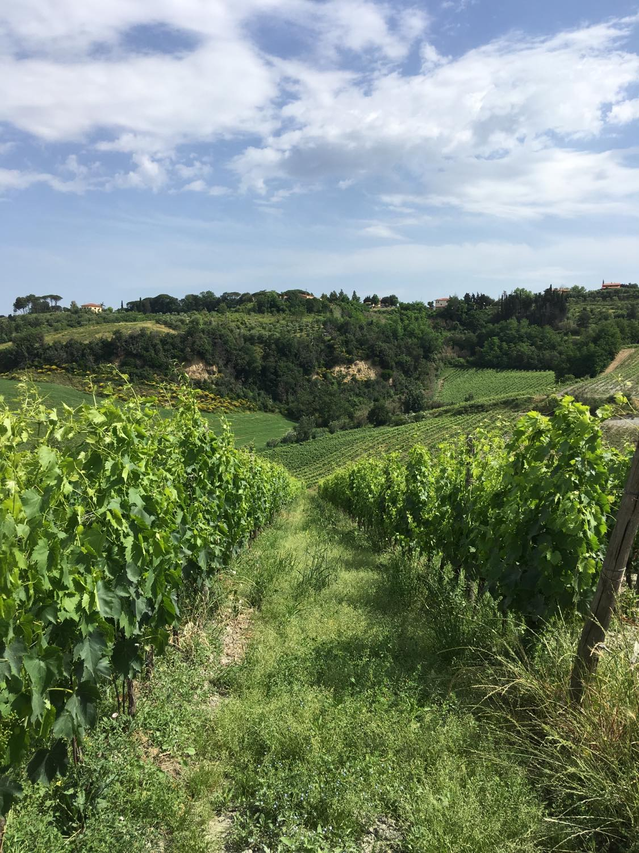 Grønne vinmarker i Pisa